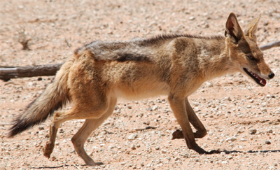 Cape Jackal, mister-e@Flickr