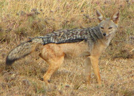 East African Jackal, WikimediaCommons
