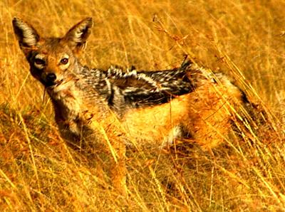 East African Jackal, Šárka DuBois