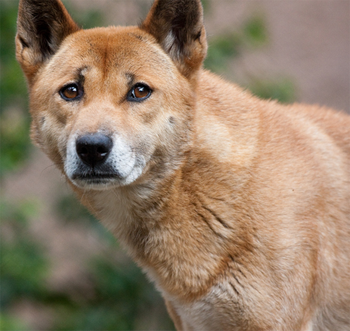 New Guinea Singing Dog Canis Lupus Halstromi Souls Wiki