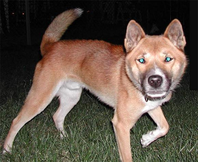 Red Phase New Guinea Singing Dog, from WikmediaCommons