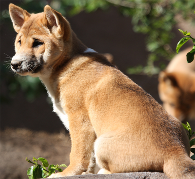 "Young New Guinea Singing Dog, from nathaninsandiego@Flickr""""Young New Guinea Singing Dog, from nathaninsandiego@Flickr"