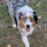 Blue Merle Dog
