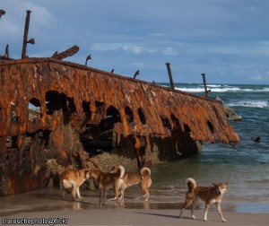 Post-Apocalypse Dingoes