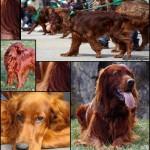 Red Dogs: Irish Setter