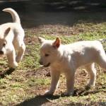 2 Months (Dingo)
