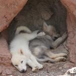 2 Months (Wolf)