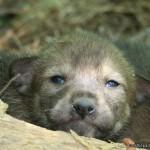 2 Weeks (Wolf)