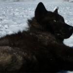 8 Months Old (Wolf)