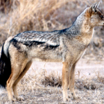 Side-Striped Jackal (Canis adustus adustus)