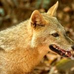 Siamese Jackal (Canis aureus crusemanni)