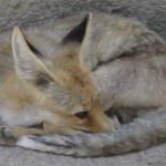 Abyssinian Jackal (Canis aureus riparius)