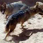 Syrian Jackal (Canis aureus syriacus)