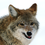 Northern Coyote (Canis latrans incolatus)