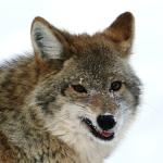 Northern Coyote (Canis latrans incolatus)