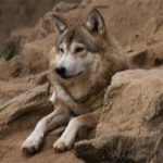 Iranian Wolf (Canis lupus pallipes)