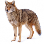 Northeastern Coyote (Canis latrans thamnos)