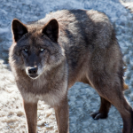 Alaskan Tundra Wolf (Canis lupus tundrarum)