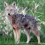 Northwest Coast Coyote (Canis latrans umpquensis)
