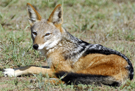 Cape Jackal (Canis mesomelas mesomelas)