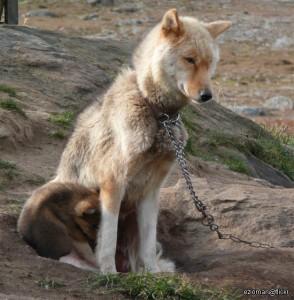Greenland Husky Dog