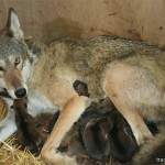 Newborns (Red Wolf)