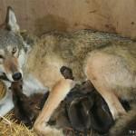 Newborns (Red Wolf)