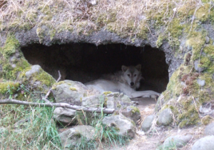 Mother Wolf in Den