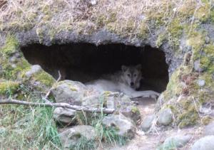 Mother Wolf in Den