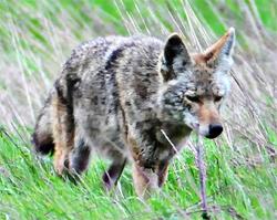 Pregnant Coyote