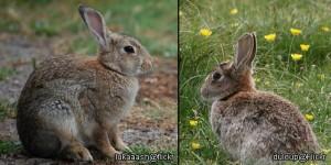 Rabbit Low Speech Variance