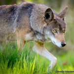Adult Red Wolf